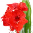 Stock Photo: Red lily