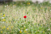 Poppy flower — Foto de Stock
