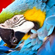 Scarlet macaws, parrot — Stock Photo