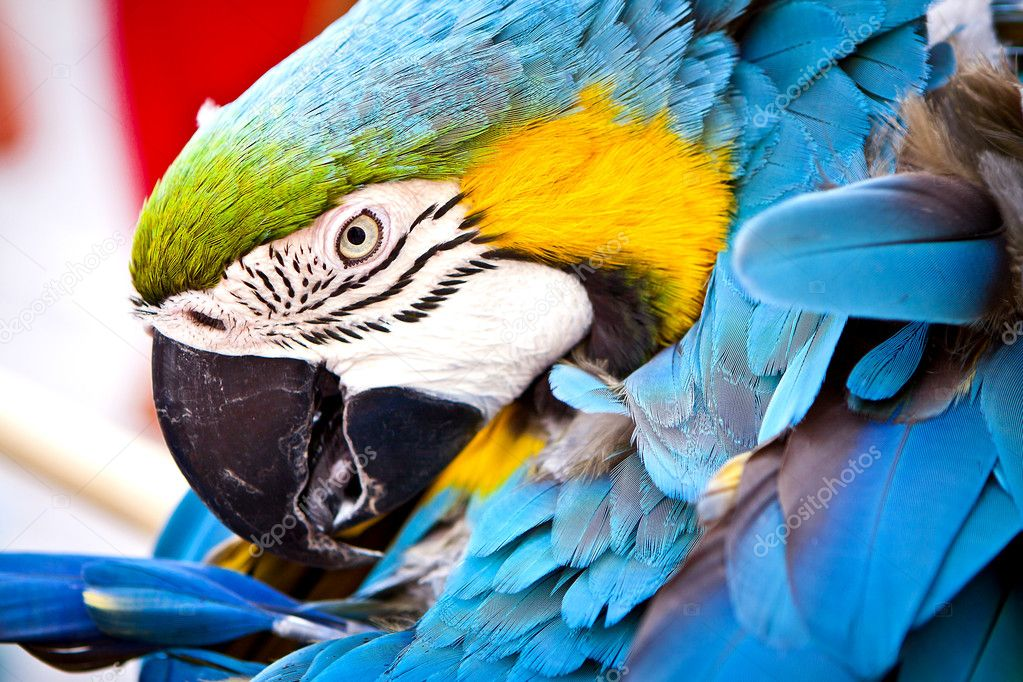 A macaw looks so happily. scarlet macaws perched. — Stock Photo #8784411