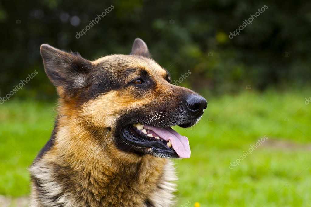 German Shepherd Dog Portrait on green grass — Stock Photo #8824056