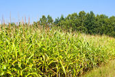 Field of healthly corn — Stock Photo