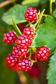 Blackberries — Stock Photo