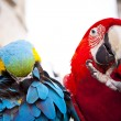 Stock Photo: Scarlet macaws, parrot