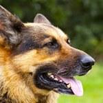 chien de berger allemand — Photo