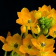 Ornithogalum Dubium — Stock Photo