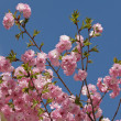 Cherry blossom background — Stok fotoğraf