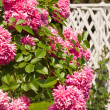 Bush of pink roses in the garden — Stock Photo #9087856