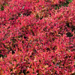 Stock Photo: Red plants