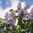 Lilacs flower on bush — Stock Photo #10470409