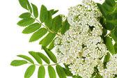 Rowan white flowers — Stock Photo