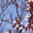 Pink cherry blossoms blooming in the spring — Stock Photo