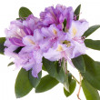 Stock Photo: Pink rhododendron, azalea