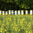 Bee hives among a blooming rape field — Stock Photo
