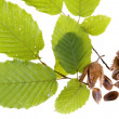 Beech nuts and leaves on white background - Stock Photo
