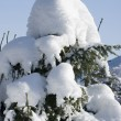 Foto Stock: Small fir tree covered with snow