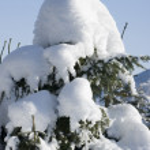 karla örtülü küçük köknar ağacı — Stok fotoğraf