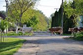 Cows walk on the street — Stock Photo