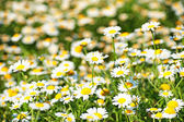 Oxeye daisy (Leucanthemum vulgare) — Stock Photo