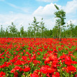 Stock Photo: Beautiful poppy field beneath blue sky