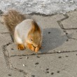 Squirrel eats — Foto Stock
