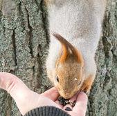 Squirrel eats — Stock Photo