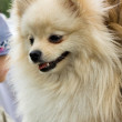 German spitz - Stock Photo