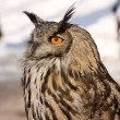 Brown owl - Stock Photo