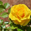 Yellow rose — Stock Photo #10017058
