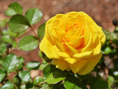 Yellow rose — Foto Stock