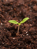 Young seedling — Stock Photo