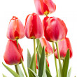 Stockfoto: Red tulips isolated on white background