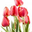 Stock Photo: Red tulips isolated on white background