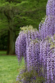 Japanese wisteria — Stock Photo