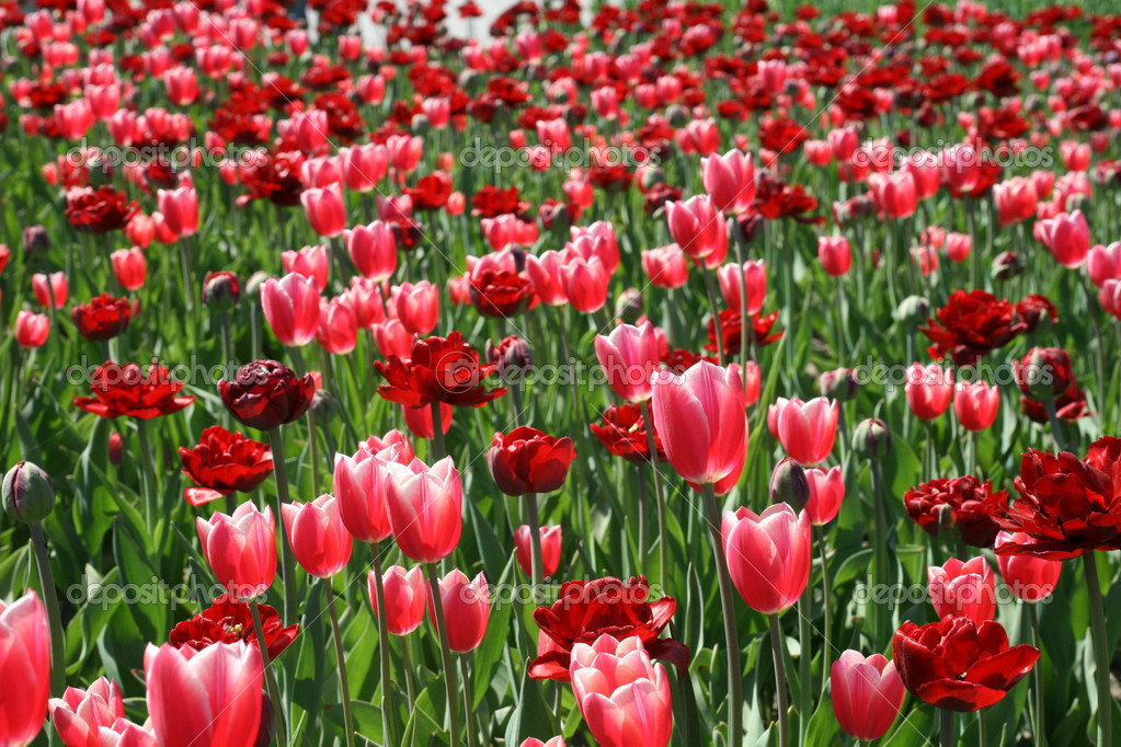 Tulips in spring garden — Stock Photo #10132942