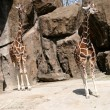 Giraffes — Stock Photo #10152926