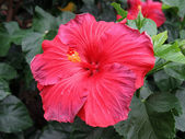 Chinese hibiscus — Stock Photo