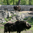 Musk-ox — Stock Photo
