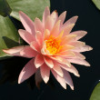 Water lily in a pond — Stock Photo #10418272