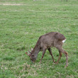 Roe deer — Foto de stock #10536253