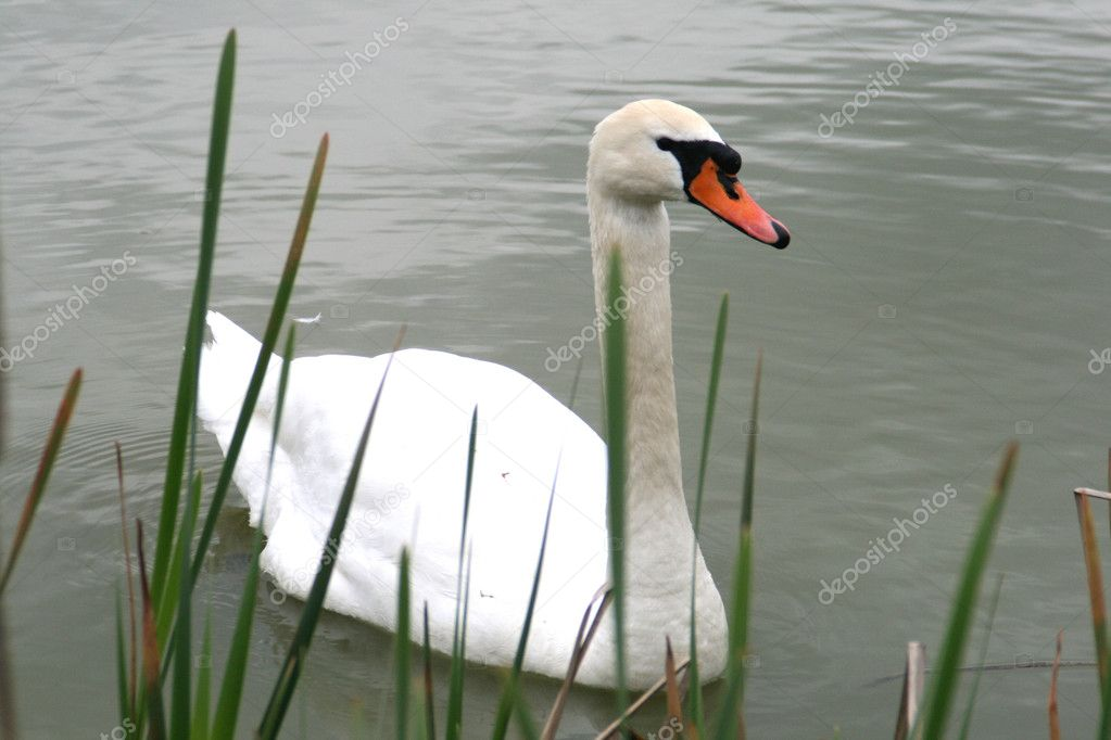 White swan in a pond  Stock Photo #10536281