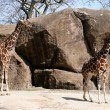Giraffes — Stock Photo #10728931