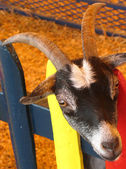 Cabeza de la cabra — Foto de Stock