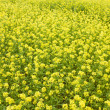 Yellow rapeseed field in bloom — Stock Photo