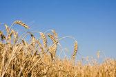 Closeup of Ripe wheat ears — Stock Photo