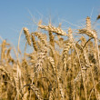 Stock Photo: Closeup of Ripe wheat ears on field