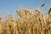 Closeup of Ripe wheat ears on field — Stock Photo