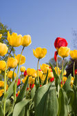 Yellow and red tulip flowers in park — Stock Photo