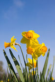 Daffodil flowers on meadow — Photo