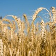 Closeup of Ripe wheat ears on field - Stock Photo